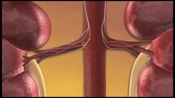 Renal Denervation against high blood pressure. Colourful Animation