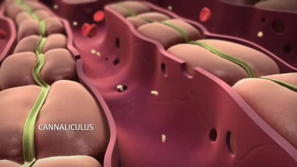 Cholesterol v jaterní kyvetě