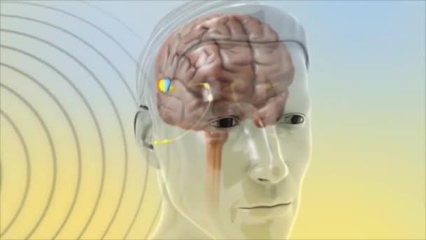 3D animált ábrázolása a működését agyi hallás jelek