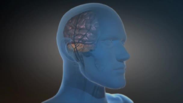 3D medizinische Animation des Mikrogliazellwachstums im Gehirn