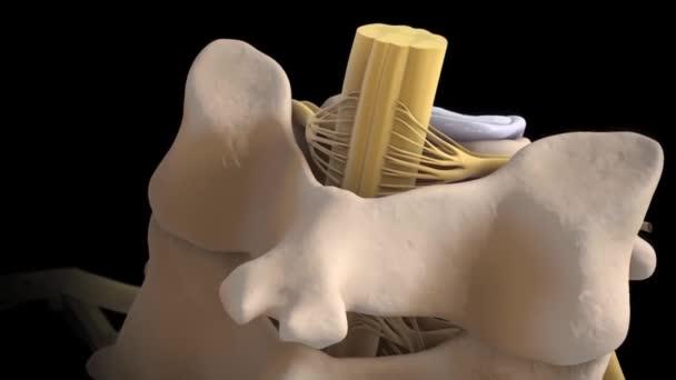 3d animazione del midollo spinale su sfondo blu. Discectomia lombare endoscopica