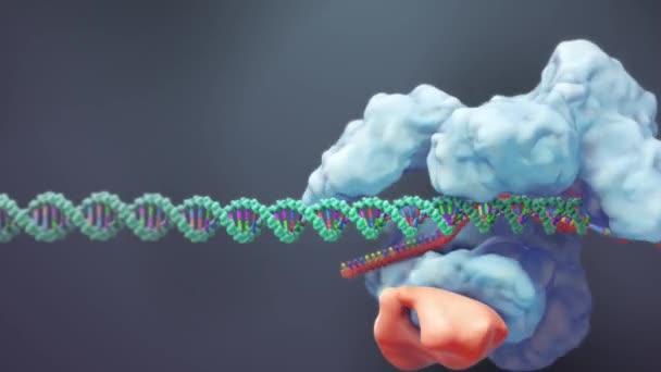 der Prozess der Transformation von Genen mit Dna-Sequenzen in funktionelle Proteinstrukturen.