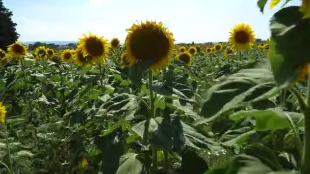Krásné slunečnice pole zobrazení