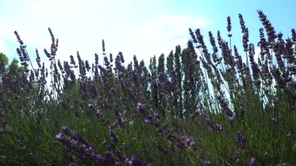 Krásné levandulové květy pole