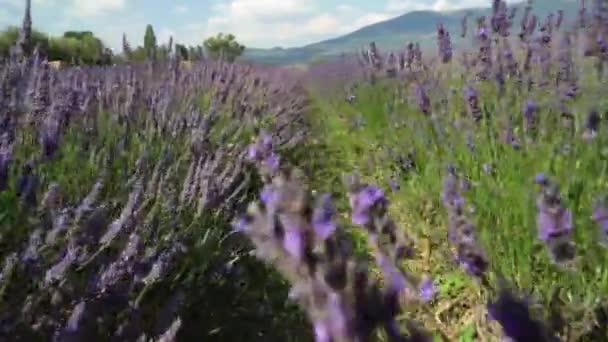 Beautiful lavender flowers field
