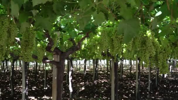 vinice s zralé hrozny v přírodě při západu slunce