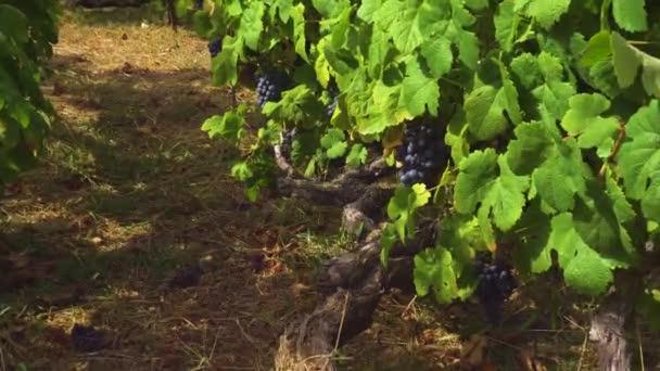 Vinice s červenými hrozny