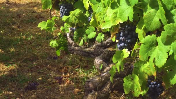Vineyard with red grape