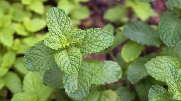 Bylinná zahrádka s rostoucí zelené máty bylina zblízka