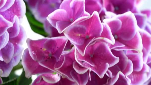 violet hortenzia flower