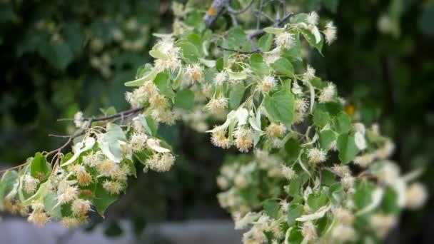 Lipové květy zelené větvičky. Letní sezóna kvetení. Aromaterapii a zelené vápna čaj. Zpomalený pohyb