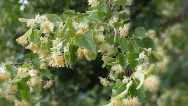 Lipové květy zelené větvičky. Letní sezóna kvetení. Aromaterapii a zelené vápna čaj