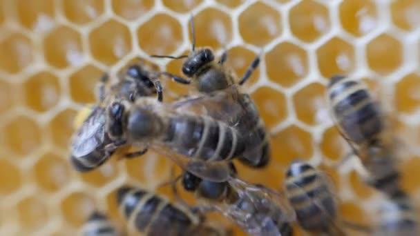 Arbeitsbienen arbeiten Wabe mit Honig.