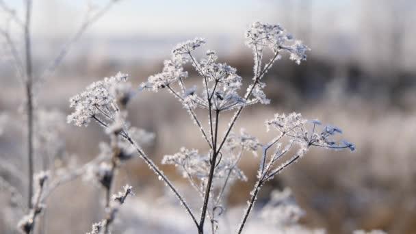 trockenes Gras im Schnee. Rispen aus trockenem Gras, eingehüllt in Schneeflocken gegen.