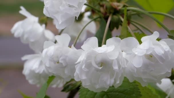 Bílé květy třešně na jaře. Bobule někdy kvetou. Prunus avium vícevrstvé květiny. Budovy pupeny na rozmazaném pozadí.