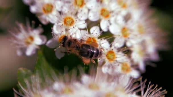 Bee on a white inflorescence in spring collects pollen. Crataegus monogyna in spring. White inflorescences sway in the wind. Flowers of hawthorn in flowering periud.