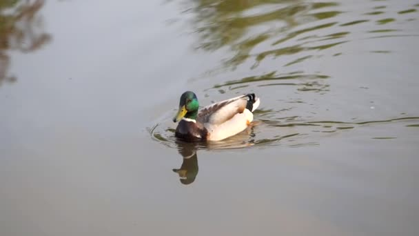 Duck is swimming in the water.