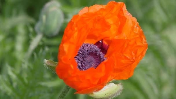 Ve větru se zvedá šarlatové květiny. Květinová zahrádka, Papaver. Rod pohrudkovitých rostlin rodu máku. Včela se plazí mezi listy květinové.