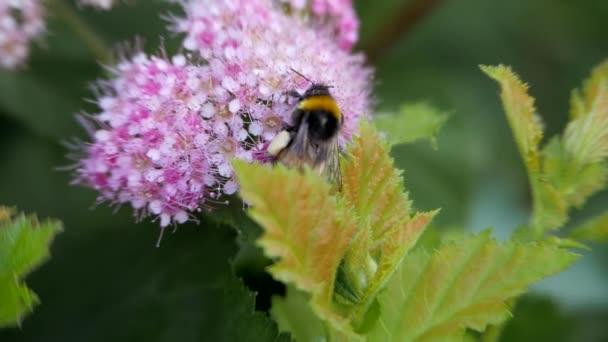 spiraea, sommergrüne Ziersträucher der rosa Familie. Hummel dreht sich um und setzt sich auf die Blume und bestäubt sie.