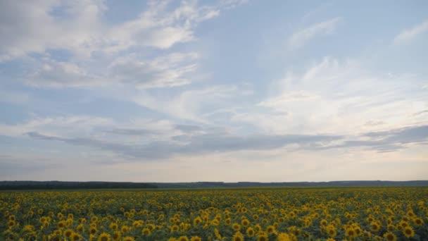 Sárga napraforgó virágok. Mezőgazdasági földterület.