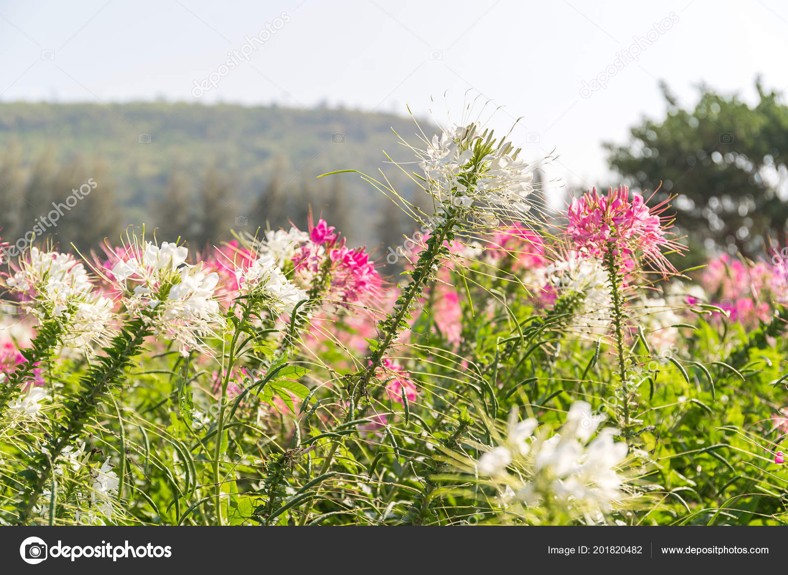 Close pink white spider flower cleome hassleriana garden stock close pink white spider flower cleome hassleriana garden stock photo mightylinksfo