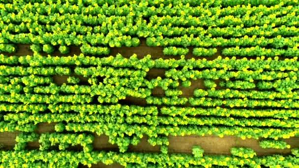 Horní pohled na obrovské slunečnicové pole