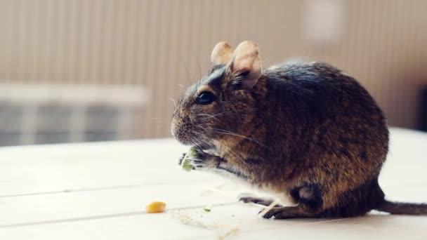 Chilenisches Eichhörnchen frisst Mais