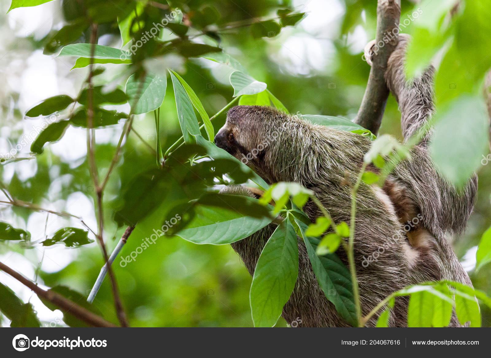 Drei Toed Sloth Hängen Von Einem Baum Manuel Antonio Costa