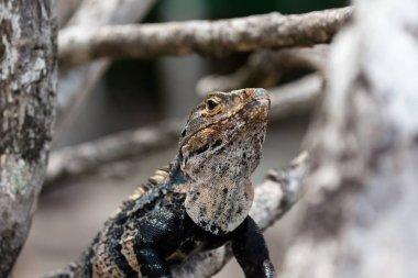 A black spiny-tailed iguana found in Manuel Antonio, Costa Rica.