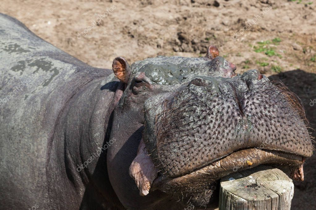 A large hippopotamus with a muddy face rests its chin in a fence post in the sunshine.
