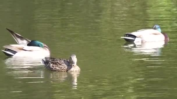 Motion of duck swimming on lake