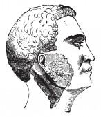 Fotografia Salivary glands, vintage engraved illustration
