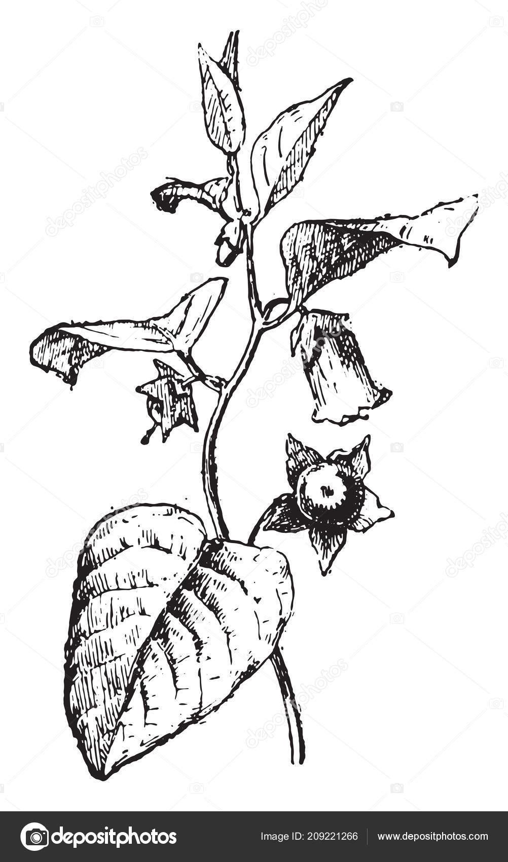 белладонна раскраска растение так называют