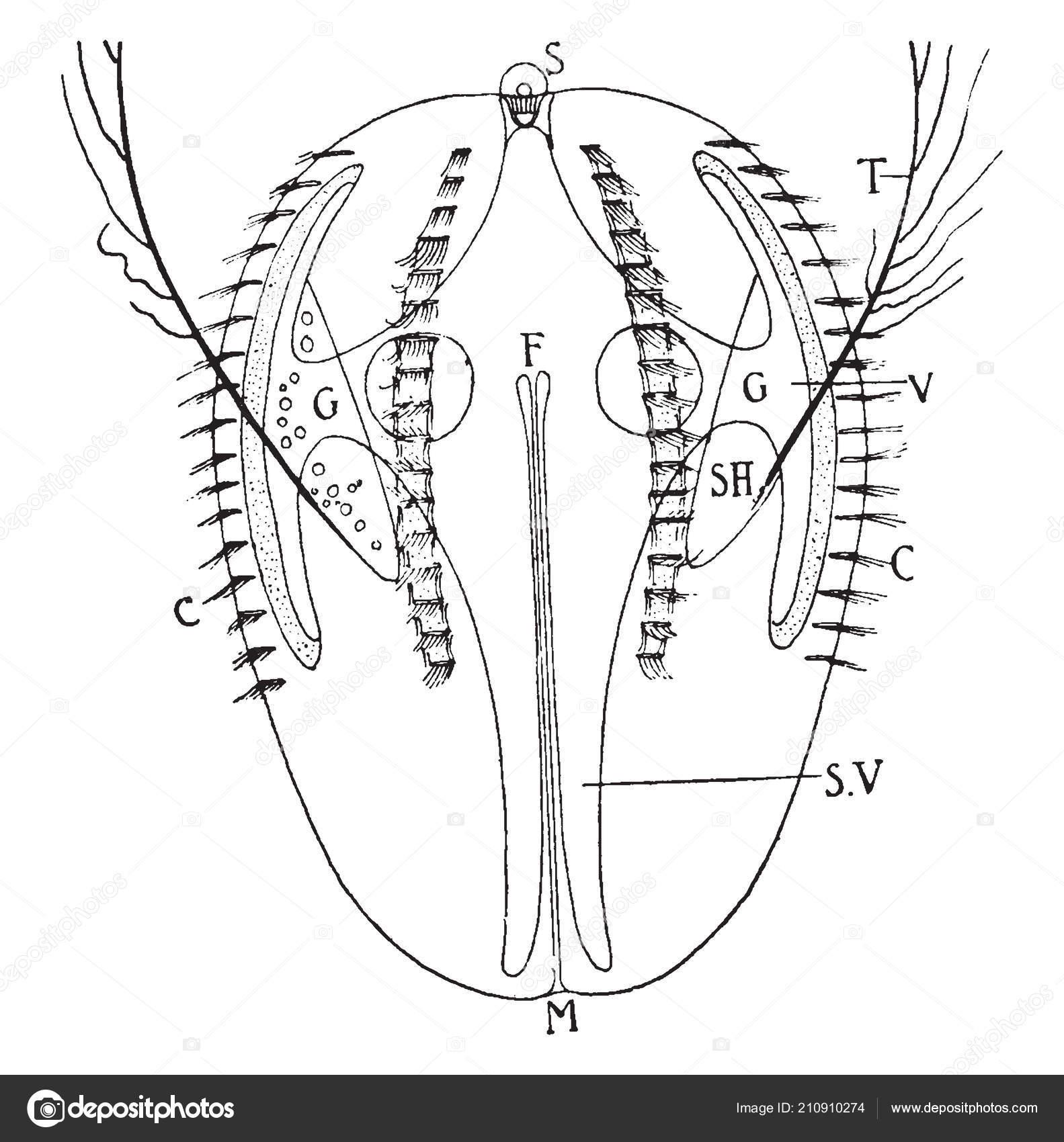 Ctenophore Filo Animais Invertebrados Que Vivem Aguas Marinhas
