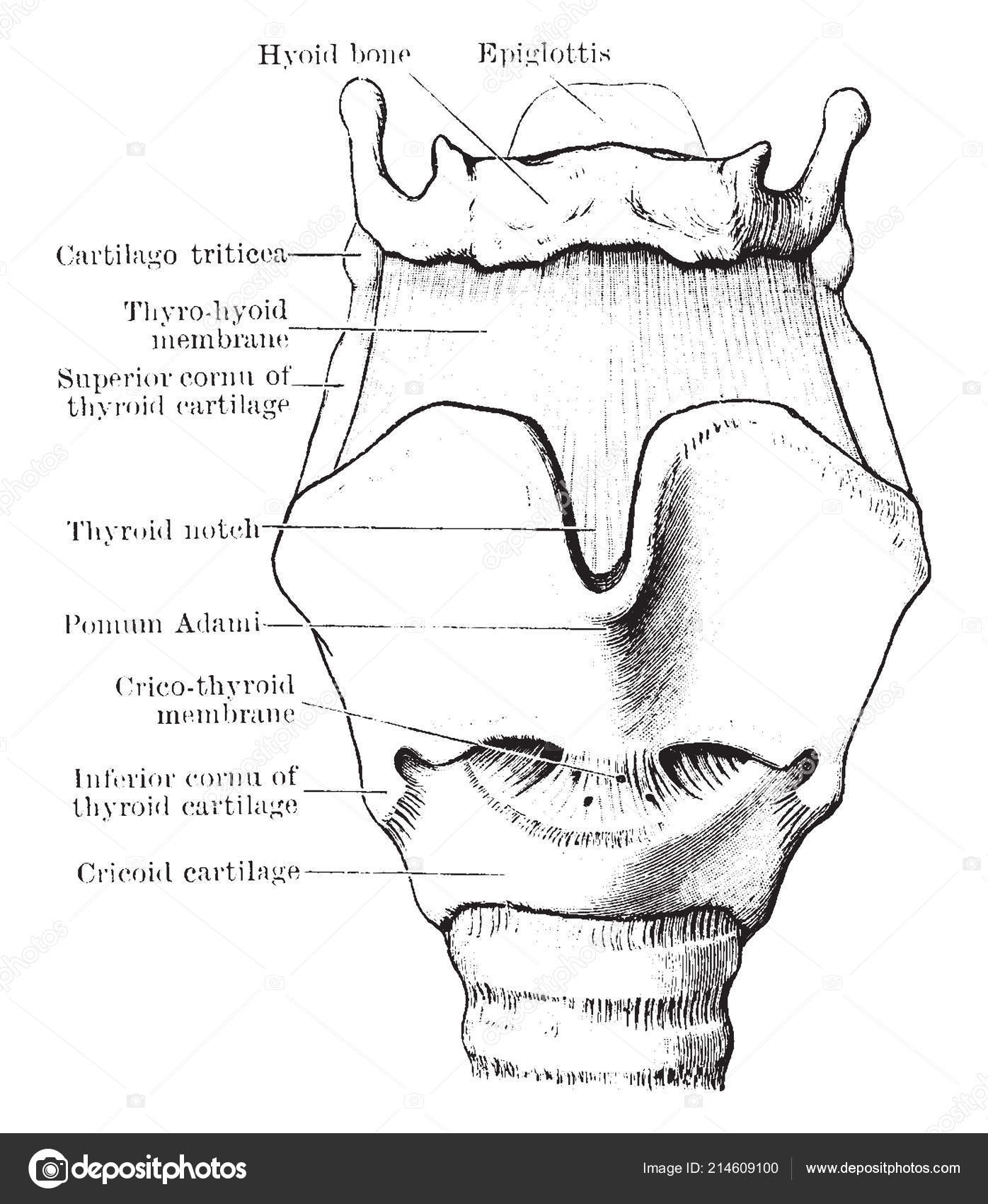 Diagram Represents Cartilages Ligaments Larynx Vintage Line Drawing