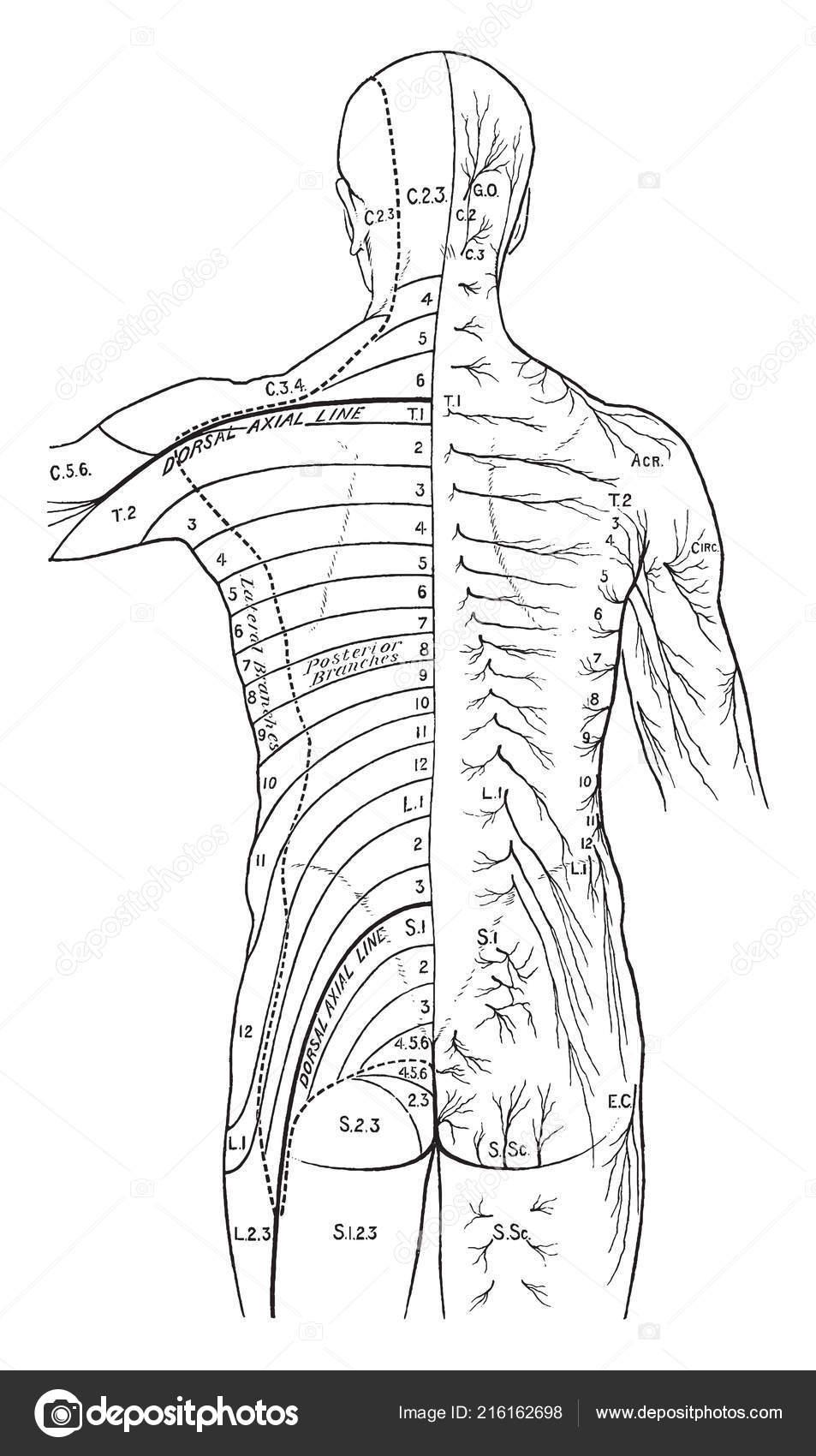 Illustration Represents Distribution Cutaneous Nerves Back Vintage