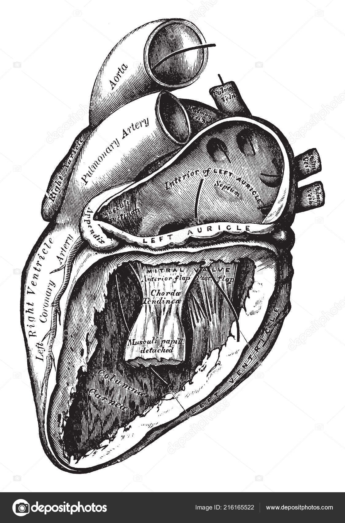 Diagram Represents Various Function Heart Left Auricle Ventricle