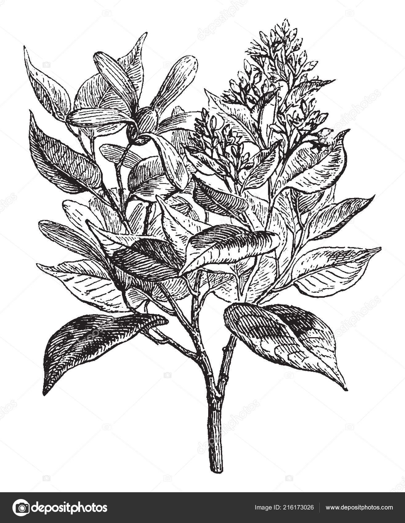 Trata árbol Marco Alcanfor árbol Tiene Muchas Flores Vintage Línea