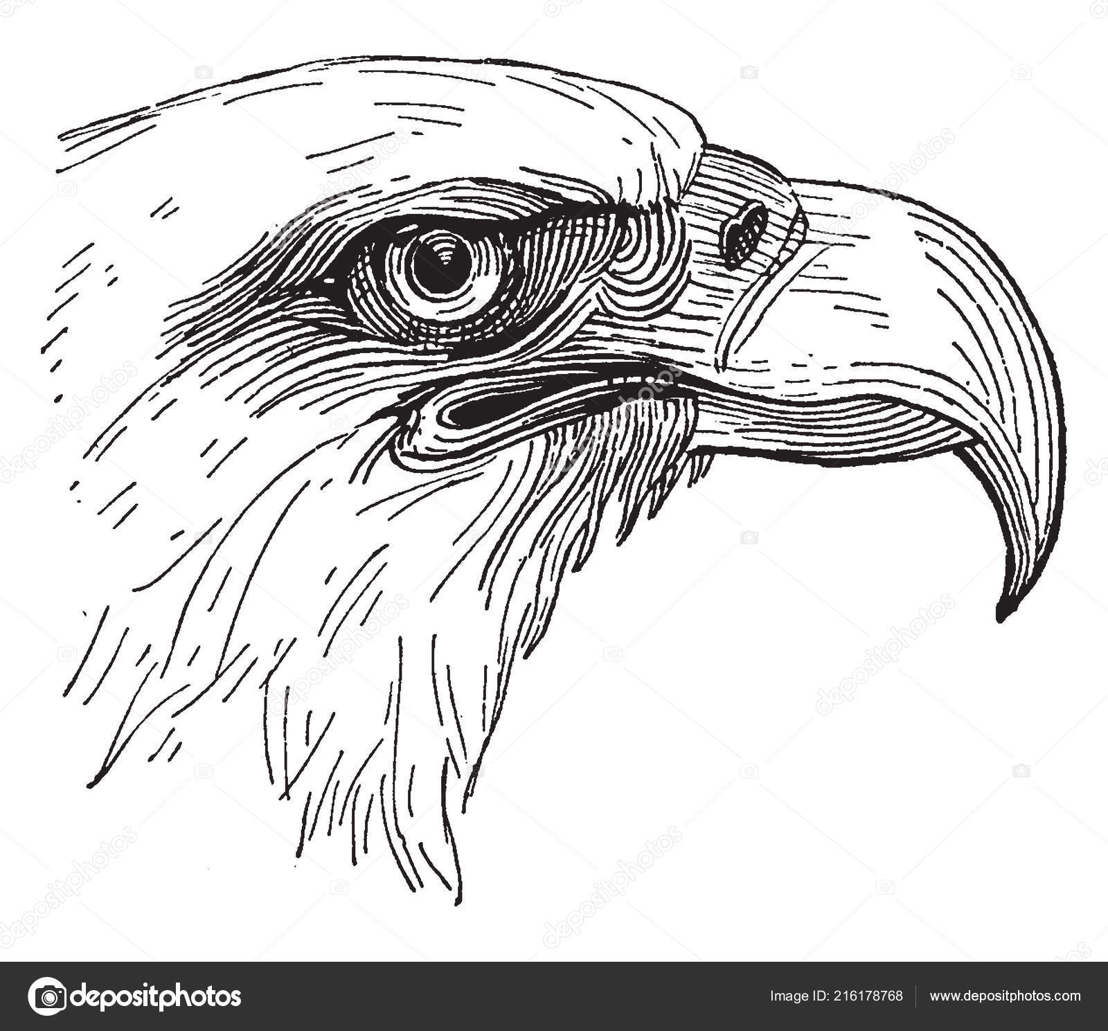 Brilliant Diagram Represents Bald Eagle Head Vintage Line Drawing Engraving Wiring Digital Resources Remcakbiperorg