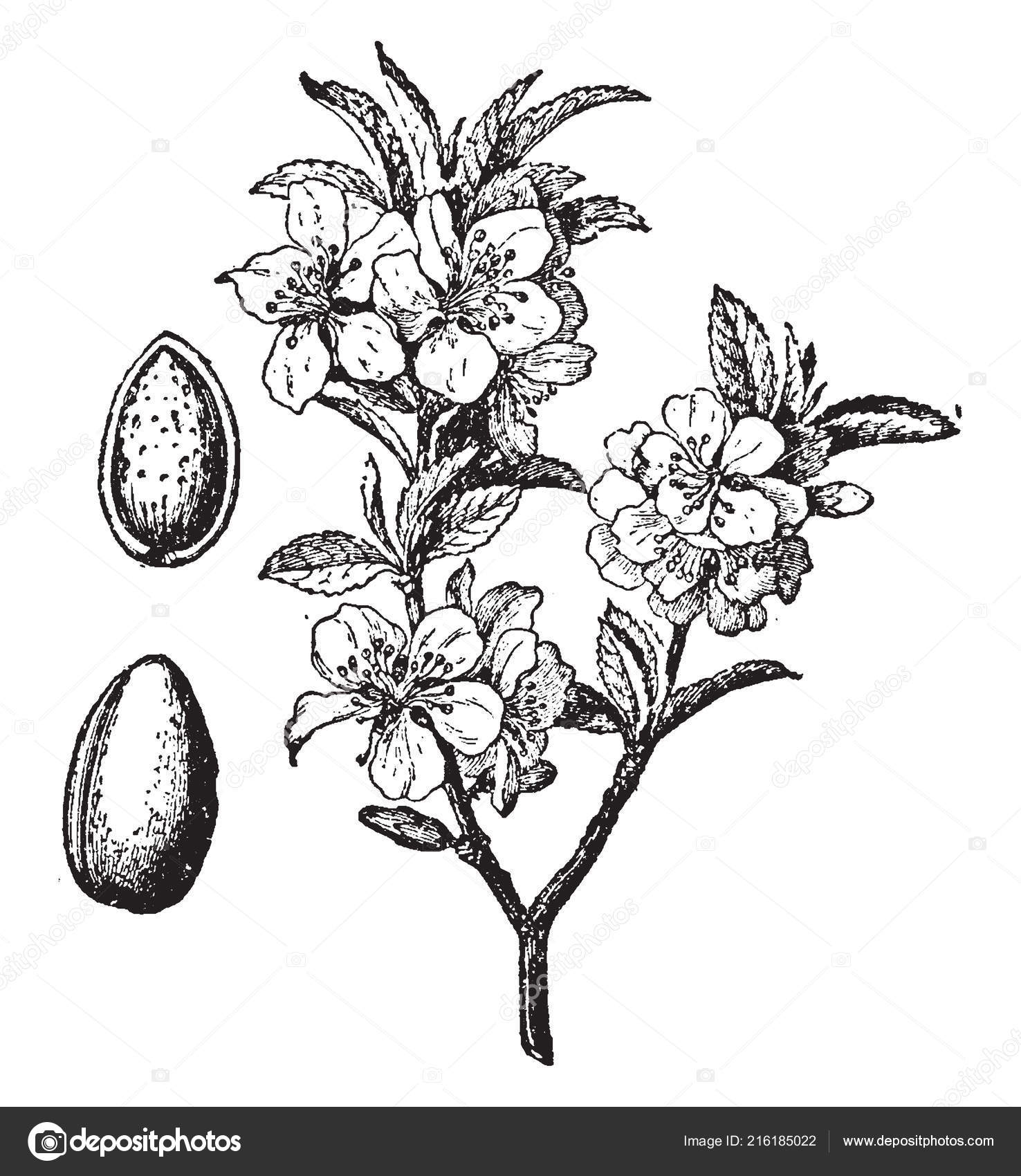 Image Branch Blossom Fruit Almond Tree Vintage Line Drawing Engraving Vector Image By C Morphart Vector Stock 216185022