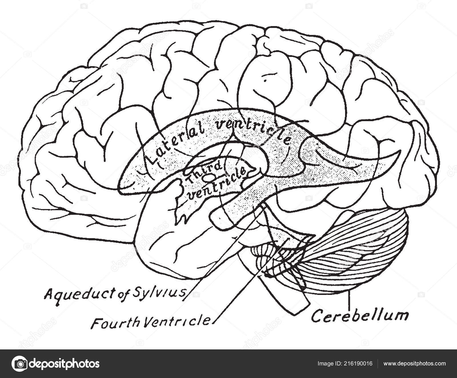 Scheme Showing Relations Ventricles Surface Brain Vintage Line