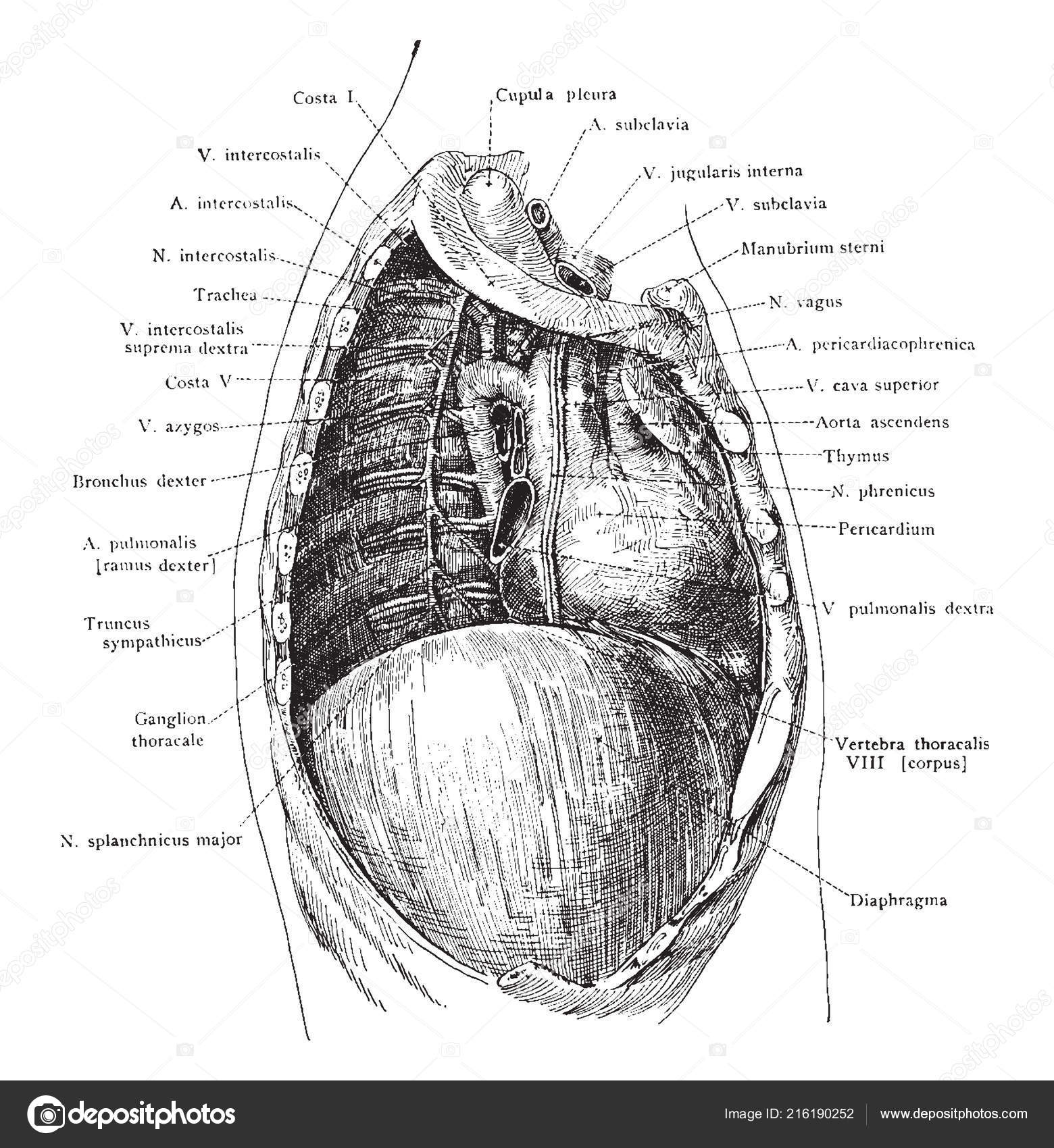 deep structures of the right thoracic cavity after removal of the right  lung, vintage line drawing or engraving illustration – stock illustration