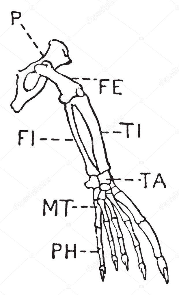 Leg Seal Which Pelvis Femur Tibia Fibula Present Vintage Line