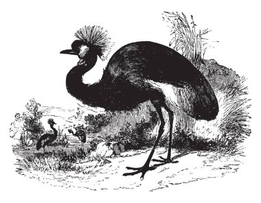 Balearic Crane stands about four feet high, vintage line drawing or engraving illustration.