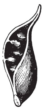 This image is of pod. And they pod are Opened, so seen the inner seeds, vintage line drawing or engraving illustration.
