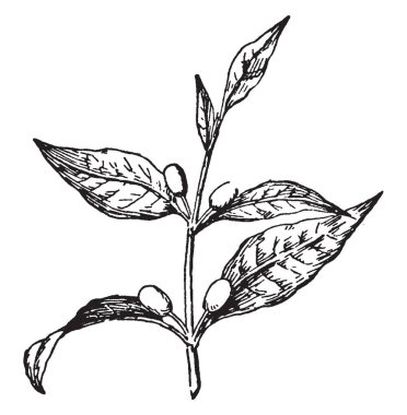 Old World tropical plants (genus Coffea and especially C. arabica and C. canephora) of the madder family those are widely cultivated in warm regions for their seeds from which coffee is prepared, vintage line drawing or engraving illustration.