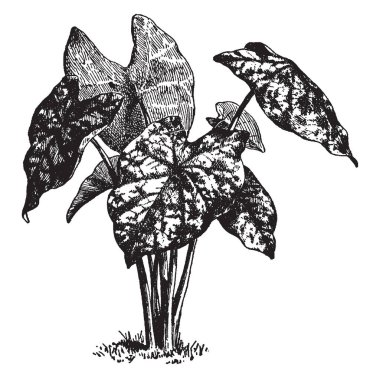 This is a picture of Caladium Humboldtii. It has heart shaped leaves with slender and long stalk, vintage line drawing or engraving illustration.