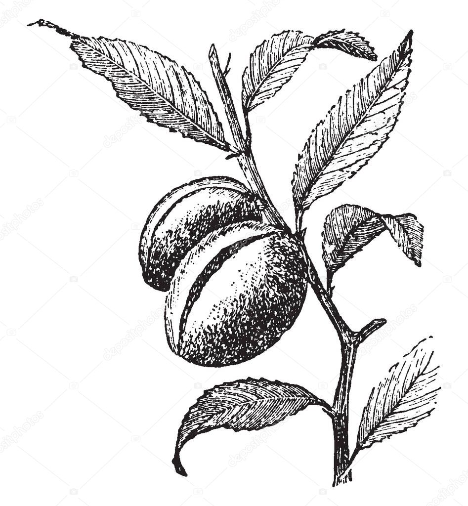 In This Frame Two Branches Of Almond Tree Have Been Planted In The Tree And This Branch Has Leaves Vintage Line Drawing Or Engraving Illustration Premium Vector In Adobe Illustrator Ai