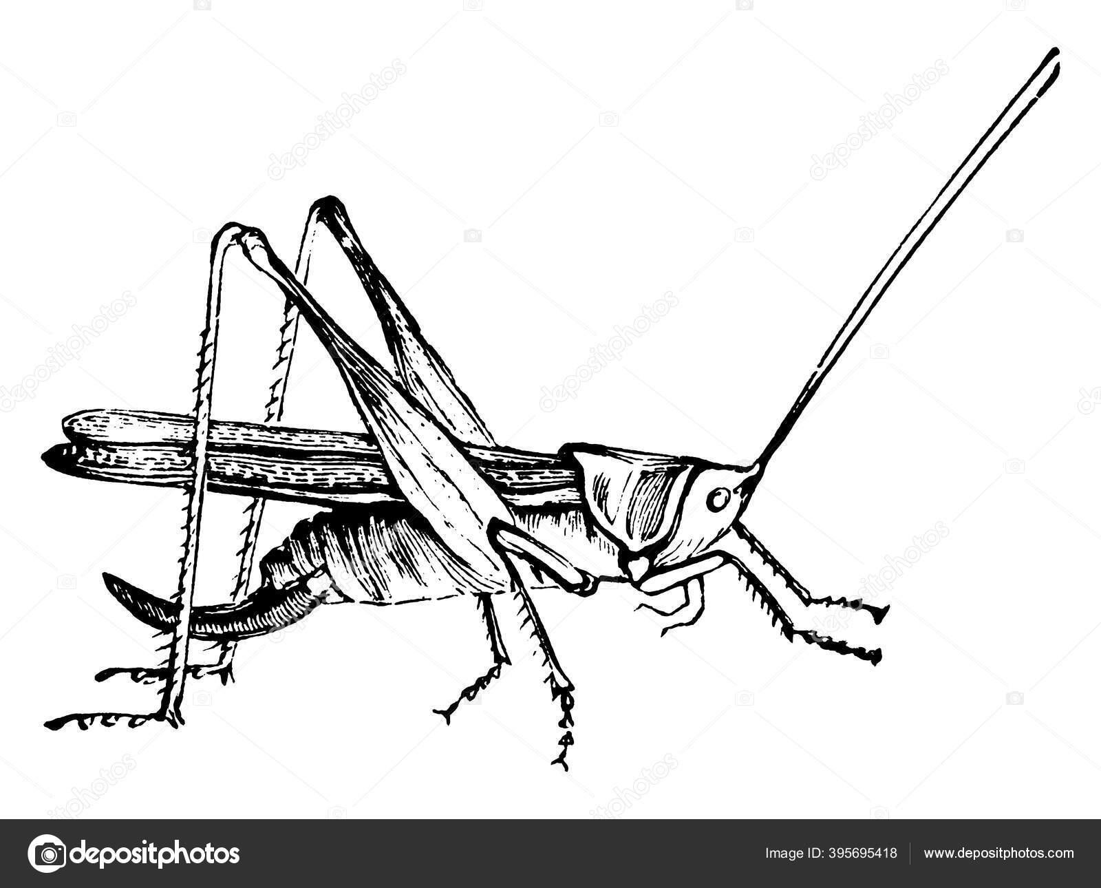 Grasshopper Locust, Green cricket, grass, fauna, green Apple png | Klipartz