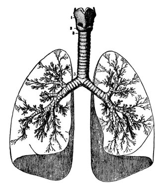 Image of human lungs dome in shape and joined with the trachea from the carina point, vintage line drawing or engraving illustration.